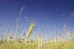 Oreilles vertes de seigle dans le domaine sur un fond de ciel bleu Photo libre de droits