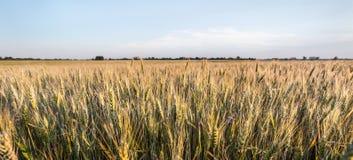 Oreilles vertes et jaunes de ressort frais de blé de champ Photo libre de droits