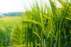Oreilles vertes luxuriantes des terres cultivables de blé pendant le début de la matinée photo libre de droits