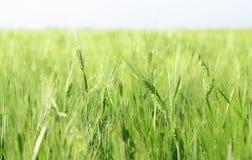 Oreilles wheaten vertes contre le ciel bleu Photographie stock libre de droits