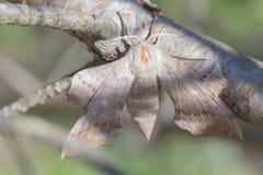orejera del Pino-árbol Imagenes de archivo