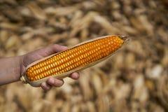 Orelha da posse da mão do fazendeiro do milho amarelo e alaranjado Foto de Stock