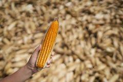 Orelha da posse da mão do fazendeiro do milho amarelo e alaranjado Fotografia de Stock