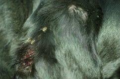Orelha de cão preto com a ferida atacada pelo enxame das moscas Imagem de Stock Royalty Free