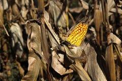 Orelha de milho Fotografia de Stock