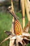 Orelha de milho Imagem de Stock