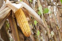 Orelha de milho em um campo Fotos de Stock Royalty Free