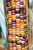 Orelha de milho indiano Imagem de Stock