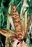 Orelha de milho indiano Fotografia de Stock