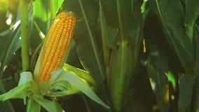 Orelha de milho madura no campo cultivado agrícola na estação da colheita pronta para escolher, metragem completa constante de HD video estoque