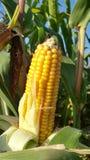 Orelha de milho na haste Foto de Stock Royalty Free