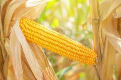 Orelha de milho na haste Fotografia de Stock Royalty Free