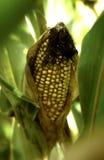 Orelha de milho na haste no campo Imagem de Stock
