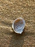 Orelha de Petar, molusco da califórnia na praia da areia imagens de stock