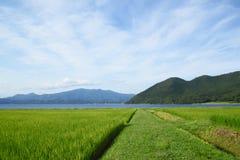 Orelha do arroz e do lago Fotografia de Stock