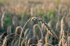 Orelha do cereal no campo Fotografia de Stock
