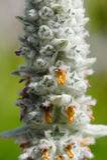 A orelha do cordeiro (Stachys Byzantina) Spike Close-Up de florescência imagens de stock