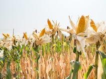 Orelha do milho doce no campo de milho fotos de stock royalty free
