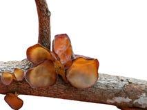 Orelha do ` s do judeu ou de orelha da geleia nome científico: Aurícula-ju do Auricularia foto de stock royalty free