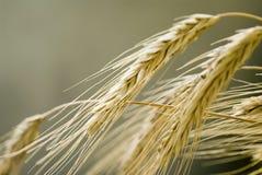 Orelha do trigo imagens de stock royalty free