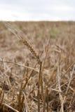 Orelha do trigo Foto de Stock Royalty Free