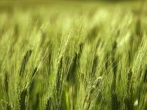 Orelha do trigo Imagens de Stock