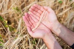 A orelha do trigo Imagem de Stock