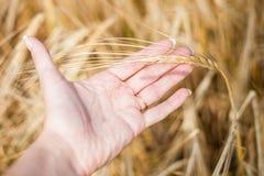 A orelha do trigo Fotografia de Stock