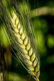 Orelha do trigo de trigo duro - trigo duro do triticum Foto de Stock Royalty Free