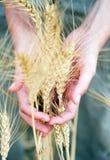 Orelha do trigo seco nas mãos Imagem de Stock