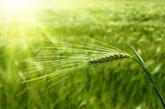 Orelha do trigo verde foto de stock
