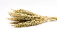 Orelha dourada do arroz no fundo branco Foto de Stock Royalty Free