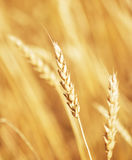 Orelha dourada do trigo Foto de Stock Royalty Free