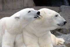 Orelha mordiscando dos machos do urso polar Fotografia de Stock Royalty Free