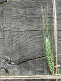 Orelha verde da cevada fotos de stock