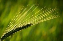 Orelha verde do trigo Foto de Stock Royalty Free