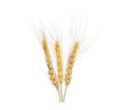 Orelhas da aveia do trigo isoladas no branco Fotografia de Stock Royalty Free
