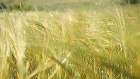 Orelhas da carne sem gordura do trigo no vento filme