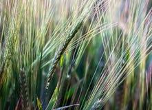 Orelhas da cevada na natureza Foto de Stock