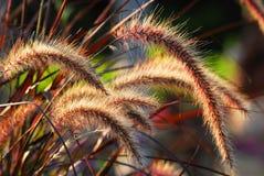 Orelhas da grama fotografia de stock royalty free