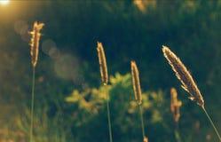 orelhas da vila da natureza do campo de trigo Imagem de Stock