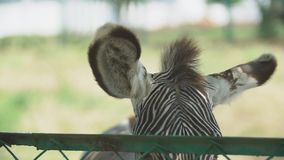 Orelhas da zebra de Grevy video estoque
