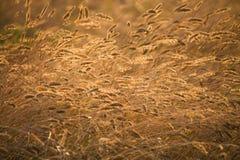 Orelhas de amadurecimento do campo de trigo amarelo fotografia de stock royalty free