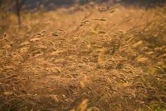 Orelhas de amadurecimento do campo de trigo amarelo fotos de stock royalty free