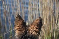 Orelhas de cão imagem de stock royalty free
