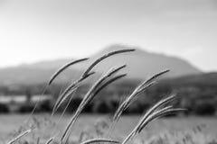 Orelhas de milho Imagem de Stock Royalty Free