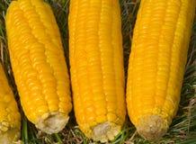 Orelhas de milho 6 Imagens de Stock