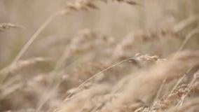 Orelhas de milho vídeos de arquivo