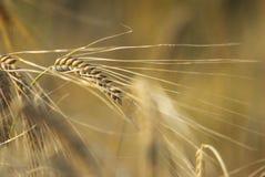 Orelhas de milho douradas em um fim acima da imagem Imagem de Stock