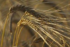 Orelhas de milho douradas em um fim acima da imagem Imagem de Stock Royalty Free